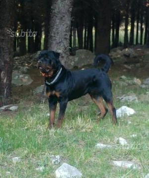 Cucciolo maschio di rottweiler