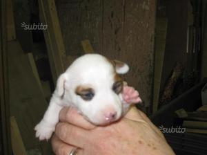 Disponibile cucciolo di Jack Russel
