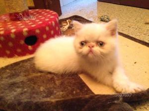 Gattini persiani exotic shorthair