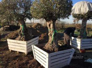 Olivi a prezzi strepitosi