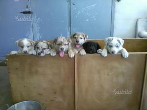 Regalo cuccioli di razza meticcia