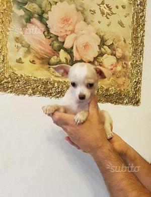 Ultimo cucciolo di Chihuahua