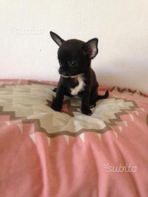 cucciola di chihuahua con pedigree