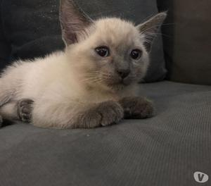 splendido cucciolo siamese thai blue point