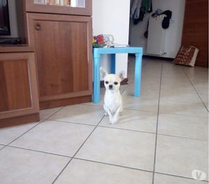 Chihuahua maschio per monta accoppiamento