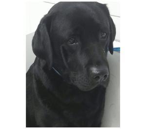 Cuccioli di Labrador Retriever con pedigree ENCI NUOVO