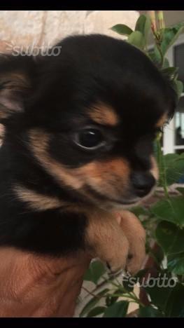 Chihuahua Messicani originali da borsetta