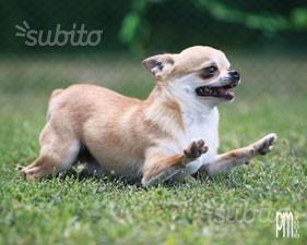 Chihuahua adulte in adozione