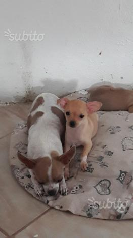 Chihuahua pelo corto vendita