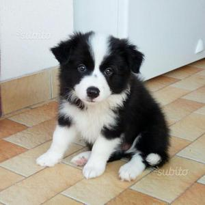 Cuccioli border collie con pedigree ENCI