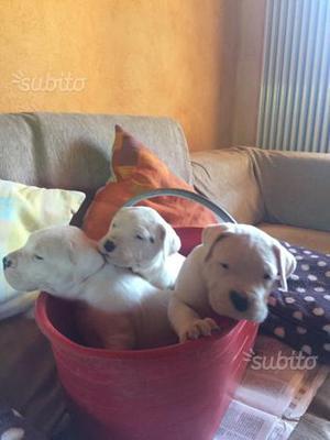 Cuccioli di dogo argentino privato vende