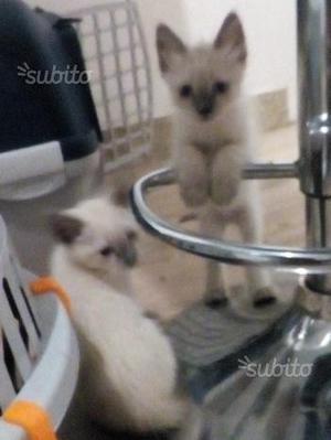 Gattini siamesi thai seal point