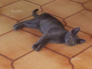 Regalo gattino incrocio Certosino