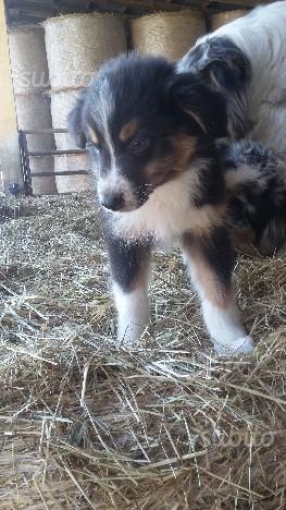 Ultimi cuccioli australian Shepherd
