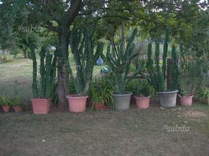 Piante grasse - Euphorbia eritrea