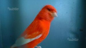 Canarini rossi, bianchi recessivi, gloster
