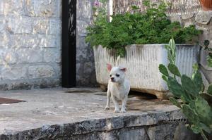Chihuahua maschio con pedigree
