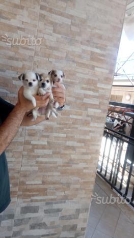 Chihuahua super toy 60 giorni