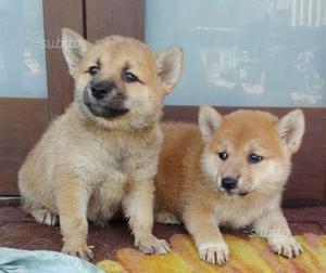 Cuccioli di Shiba Inu con pedigree