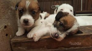 Jack russel cuccioli