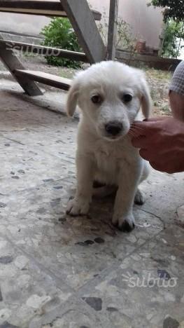 Leo mix labrador in adozione