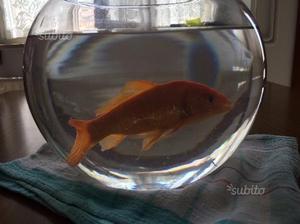 Pesce thun rosso medio posot class for Quanto vive un pesce rosso