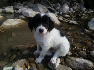 Regalo Cucciolo maschio mix border collie