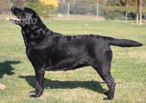 Regalo Labrador con Pedigree Enci