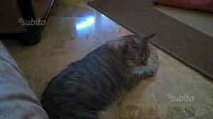 Regalo gatta bianco/grigia