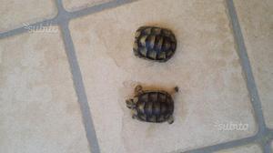 Cerco tartaruga di terra piccole dimensioni posot class for Piccole tartarughe di terra