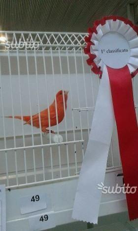 Canarini rossi e avorio