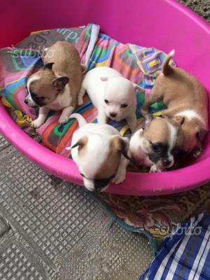 Chihuahua Cuccioli 2 Femmine,2Maschi,pronti