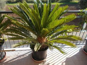 Cicas per ville e giardini da 50euro le picole palme