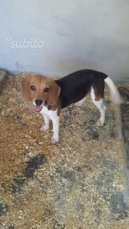 Cucciola di beagle con pedigree
