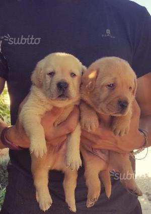 Labrador cuccioli alta genealogia
