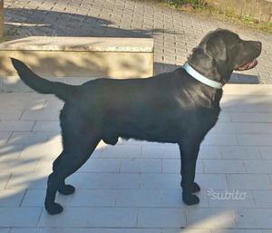 Labrador maschio con pedigree