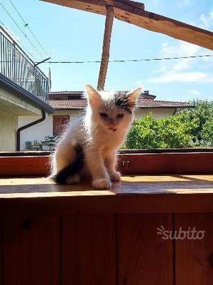 Regalo gattina pelo semi lungo