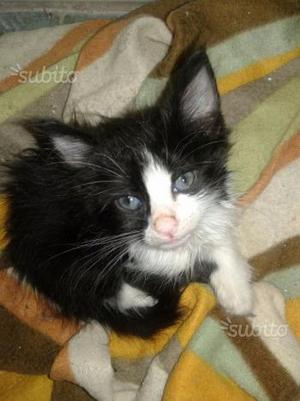 Regalo gattini pelo semi lungo