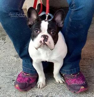 Bulldog francese maschio di 1 anno