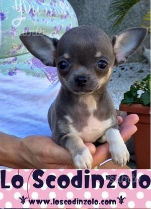 Chihuahua femmina blu cucciola