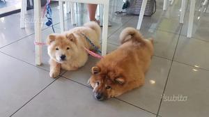Chow chow cuccioli