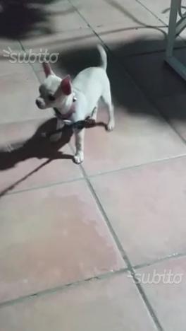 Cucciola di chihuahua femmina di colore bianco