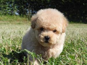 Cuccioli barboncino toy 2-3 mesi