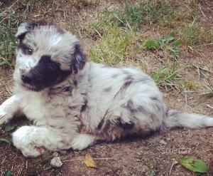 Cuccioli border collie blue merle