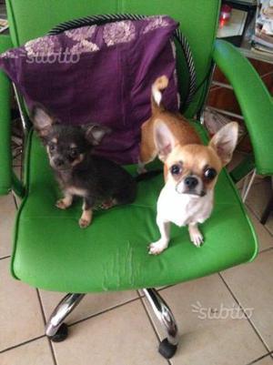 Cuccioli chihuahua 2 femmine e 1 maschio