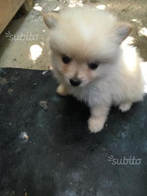 Cuccioli di mini Spitz nano tedesco