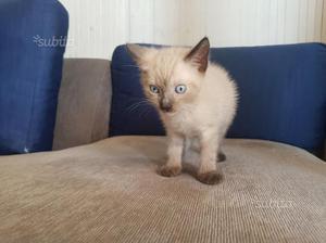 Cuccioli gatto siamese