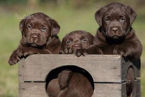 Cuccioli labrador retriver chocolate 2-3 mesi