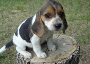 Cuccioli nani di beagle