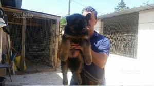 Disponibile cucciolo maschio di pastore tedesco